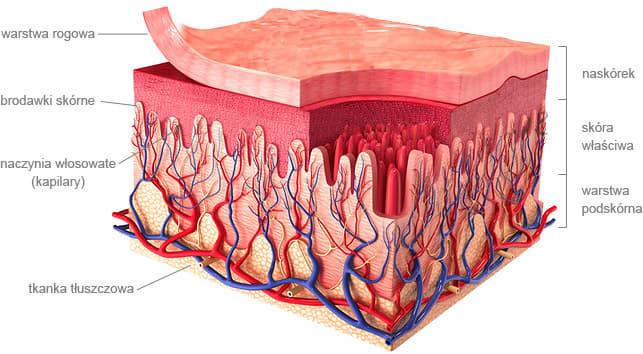 mocne naczynka krwionośne w skórze