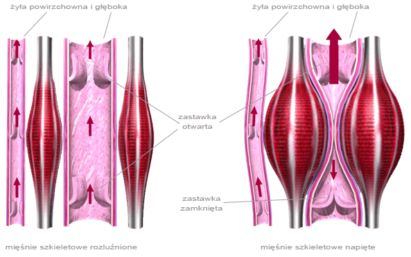 piękne nogi - pompa mięśniowa